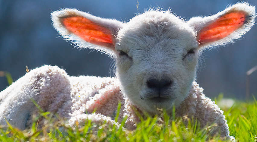 Lamb smiling in the grass.